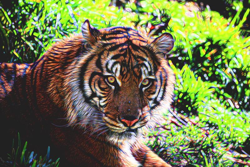 T_Tiger 1.jpg