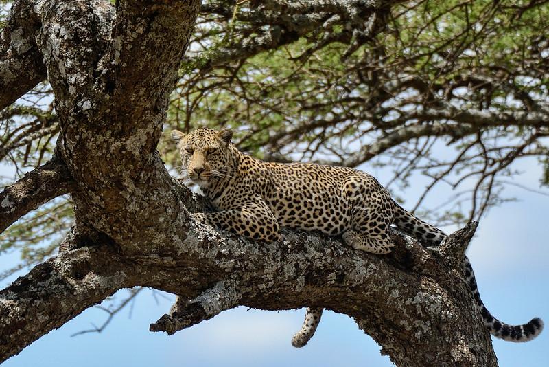 Leopard-on-a-tree-Serengeti.jpg