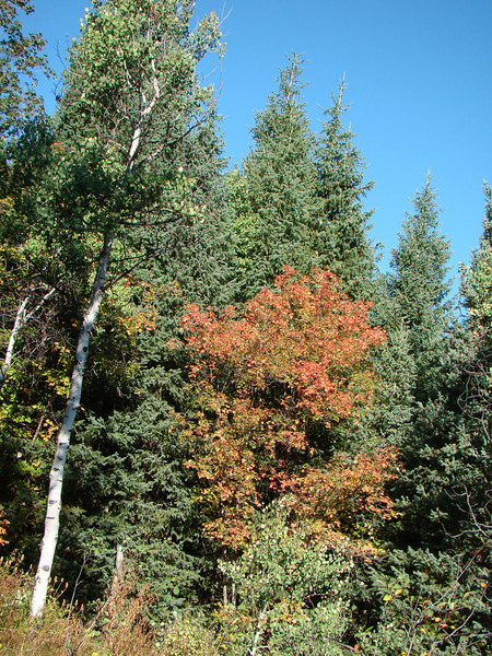 Color change in Maples is the first early sign of Autum in the Wasatch Range