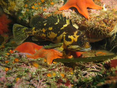Black & Yellow Rockfish