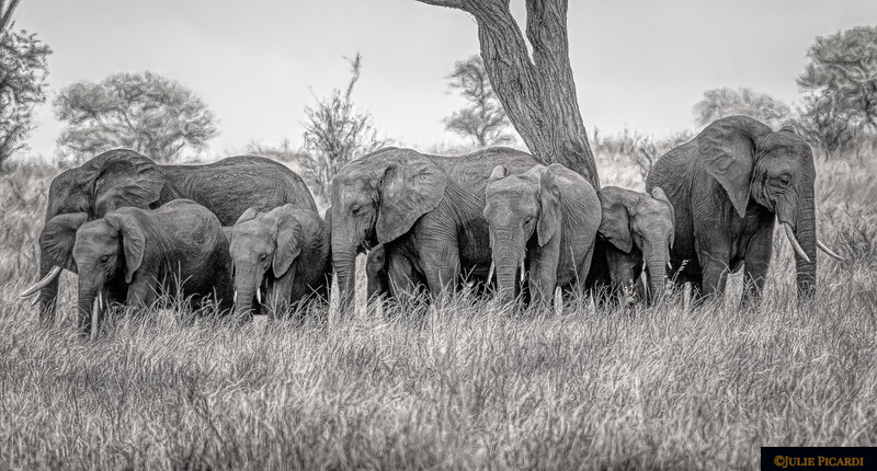 Elephants in a Semi-circle B&W