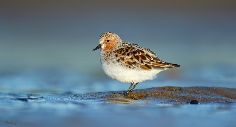 Red-necked Stint.jpg