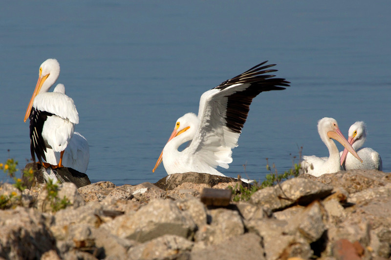 Another look at the White Pelican's black wingtips