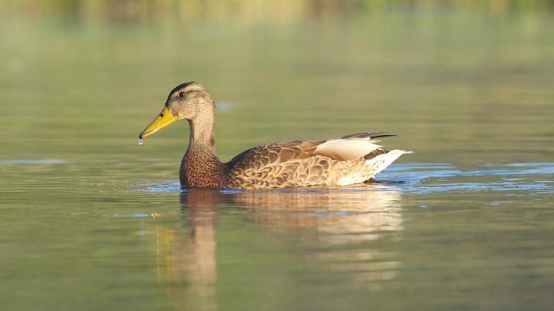 Mallard Duck ( Female)