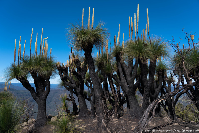 Grass Trees (Xanthorrhoea) on the northern end of Mt Royal