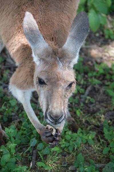 KangarooCuteDSC_1587.jpg