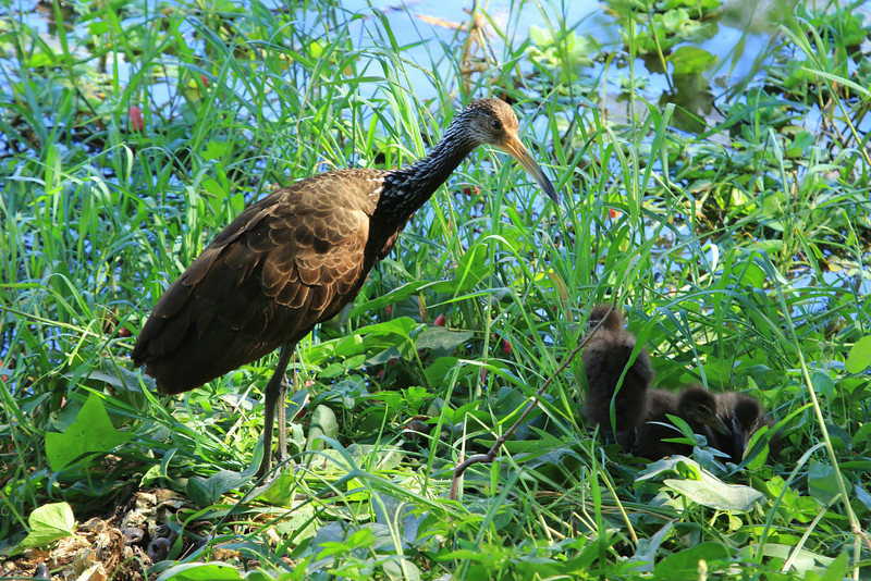 Limpkin and chicks