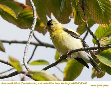 American Goldfinch M73406.jpg