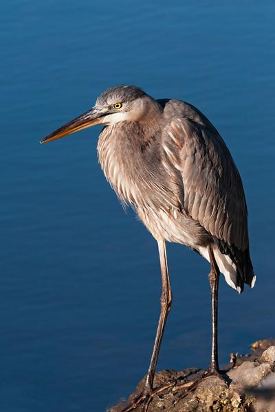 Heron - Great Blue - juvenile - Ding Darling NWR - Sanibel Island, FL