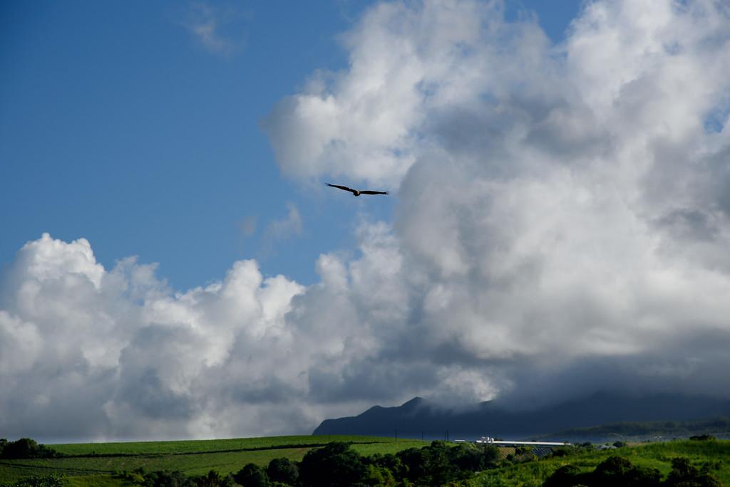 Un papang dans le ciel de la Réunion
