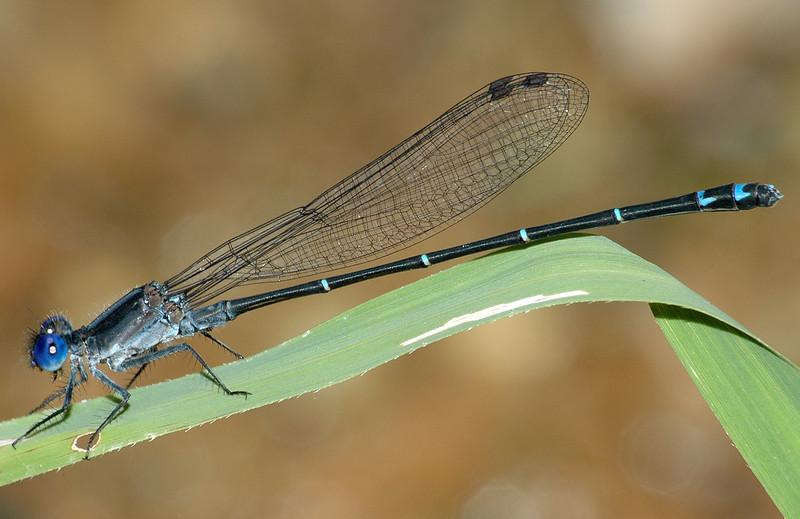 Argia sedula (Blue-ringed Dancer), GA