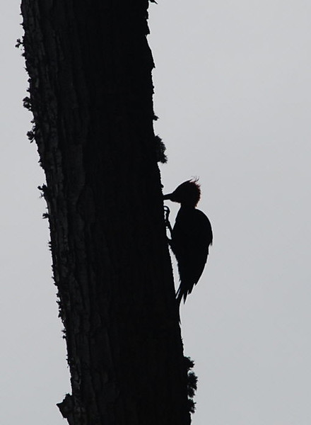 Megallanic Woodpecker in sillouette