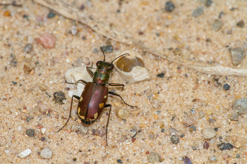 Cicindela scutellaris subspecies Lecontei Festive Tiger Beetle Sauk Prairie Recreation Area WI  IMG_0321.jpg