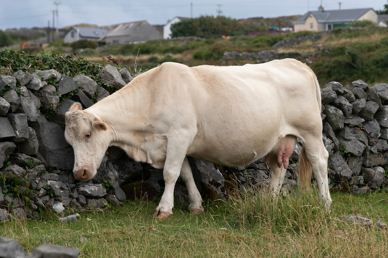 Cattle leaning against a stone wall, Kilronan, Inishmore, Aran Islands, County Galway, Ireland