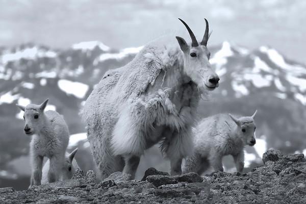 Mtn Goats & Sheep