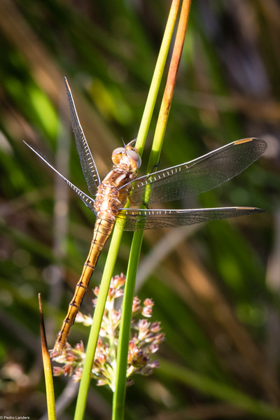 Keeled Skimmer - Female