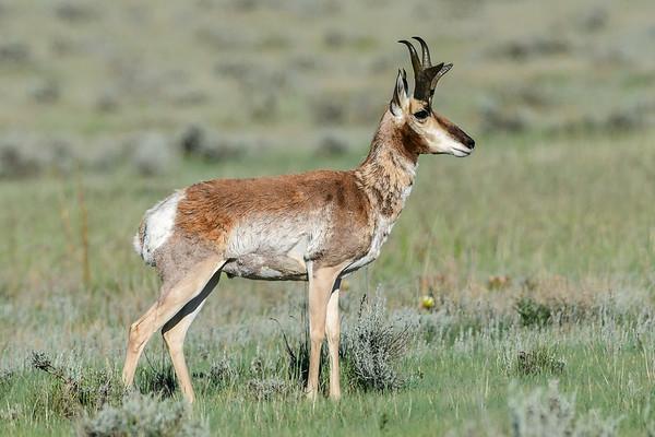 6-29-17 Antelope