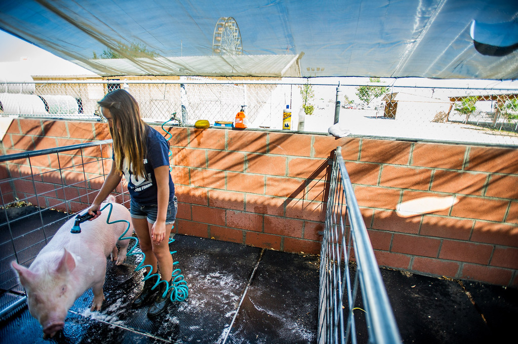 ". Apple Valley High School FFA member Alexis Vega washes her Yorkshire ""Piggy Sue\"" as preparations are made for opening day of the San Bernardino County Fair in Victorville, Friday,  May 24 2013. (Eric Reed/The Sun)"