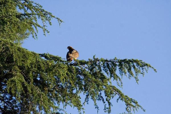 Redtail Hawks Nesting