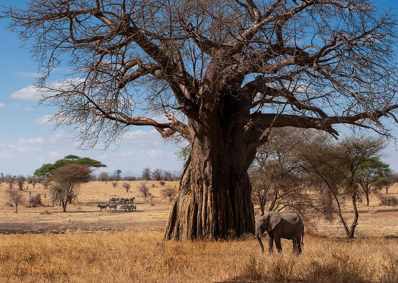 Elephant and zebras at the Tarangire national park.  Tanzania, 2019