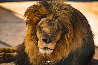 Lion Habitat Ranch March 2017
