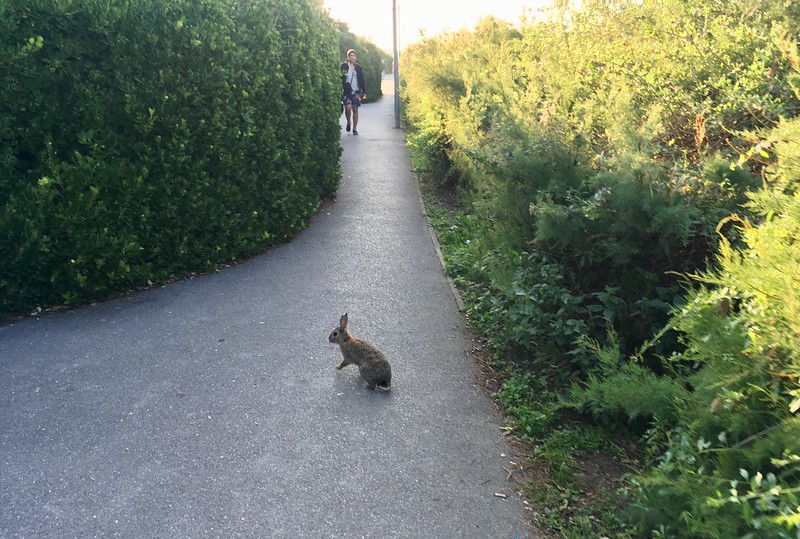 Morning runner will catch a bunny