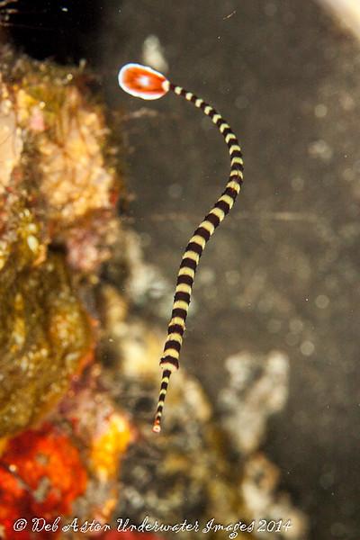 Pipefish Dunckerocampus dactyliophorus