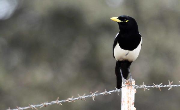 Birding Goleta/Santa Ynez Valley   Nov 18, 2014