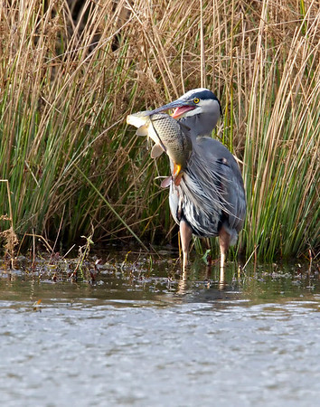 Great Blue Heron gets a largish carp