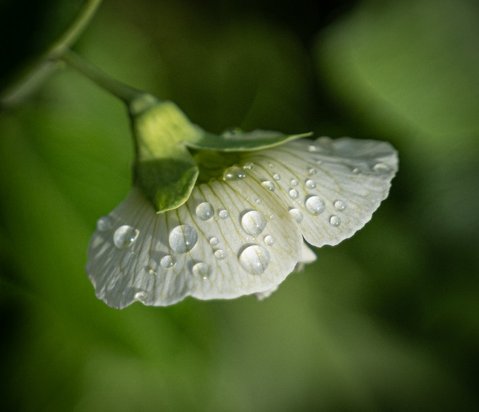 Pea Blossom with Raindrops