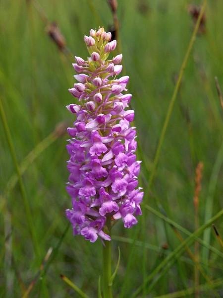G. conopsea ssp. friesica 1e Kroonspolder Vlieland 24-07-13 (133).jpg