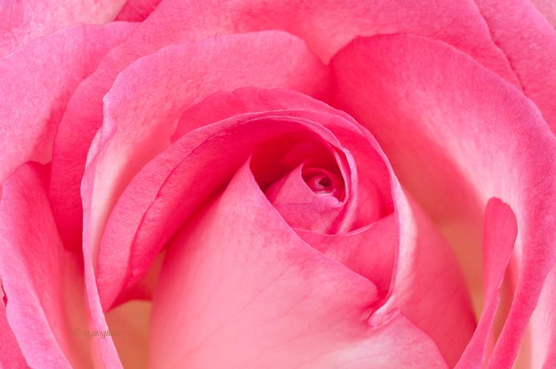 Mar 6_Pink Rose Closeup_3997.jpg