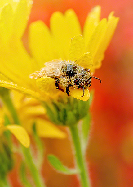 s 5x7 Dewy Diamond Bee.jpg
