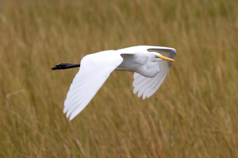 egret-in-flight_5031188369_o.jpg