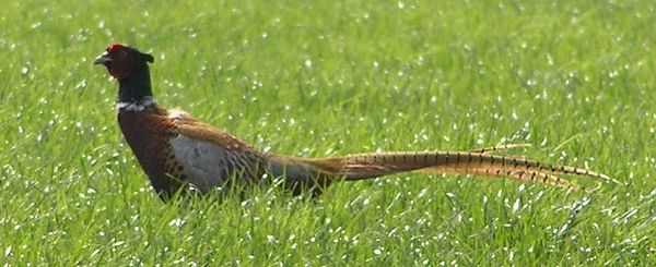 Partridge and Pheasant