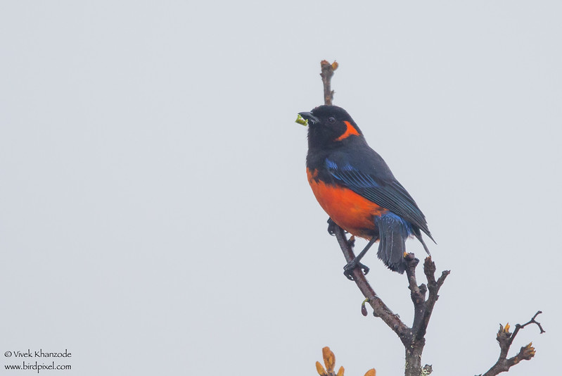 Scarlet-bellied Mountain-Tanager - Wayquecha Lodge, Peru