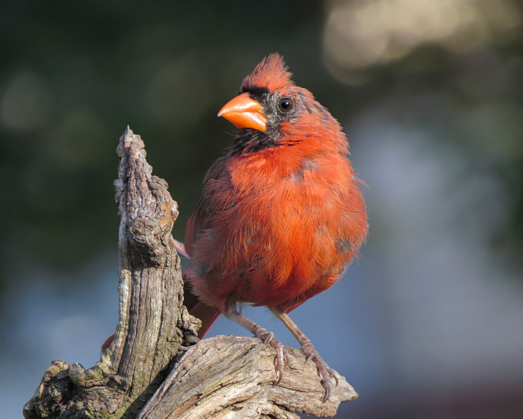 sx50_cardinal_boas_1208.jpg