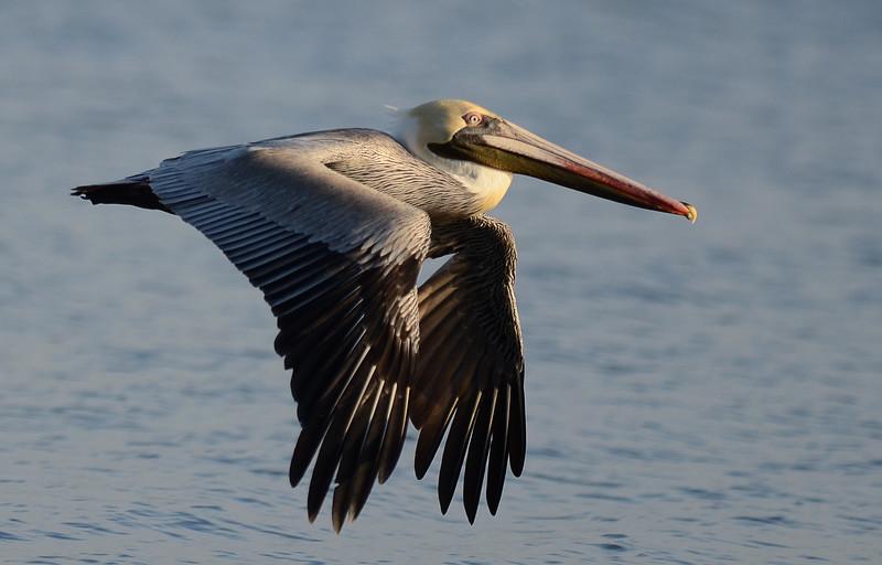 Pelican 03.jpg