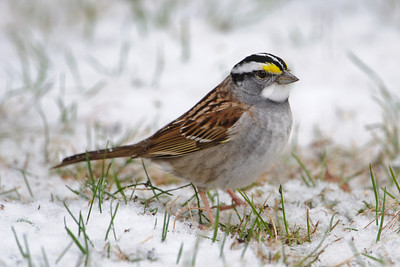 Sparrows - T-Z