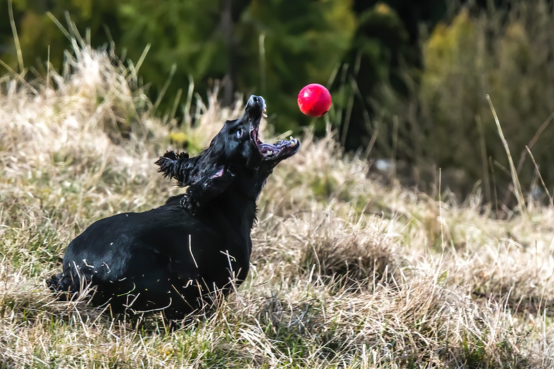 Please little Spaniel, bring me a Big Red India Rubber Ball!