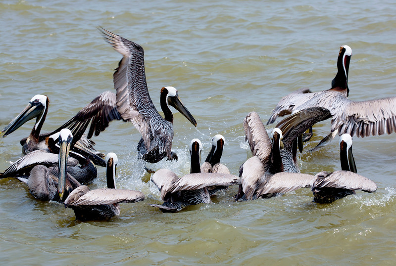 Now we're at the Texas City Dike.  A flock of Brown Pelicans fights over a fisherman's offal.