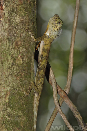 Five-banded Flying Draco