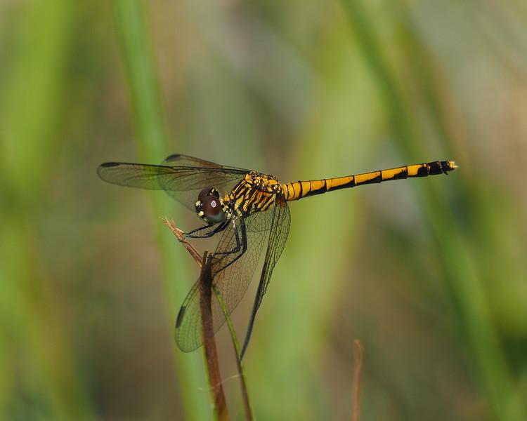 Seaside Dragonlet, female