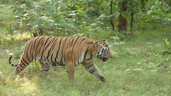 Tigers in India 2017