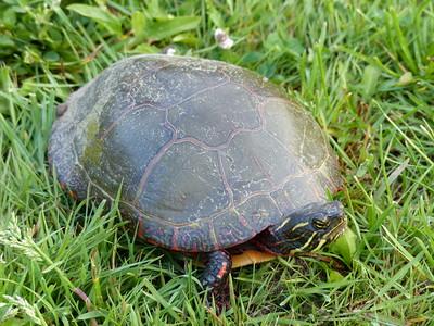 20160528 Painted Turtle