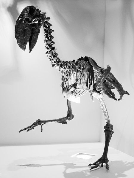 "This is a Titanis, better known as a ""Terror Bird""."