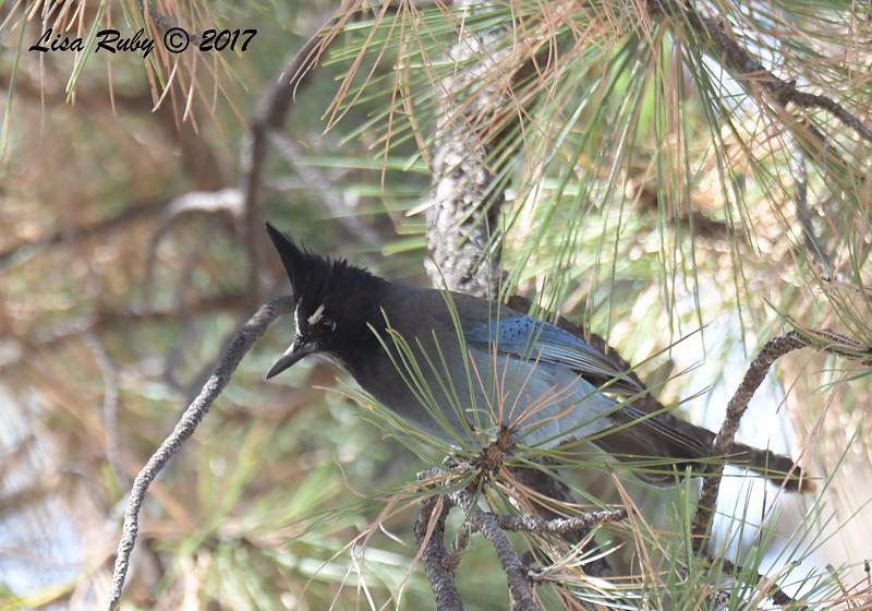Stellar's Jay - 10/19/2017 - Miller Creek Trail, Prescott, AZ