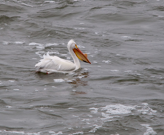 Pelicans & Comorants