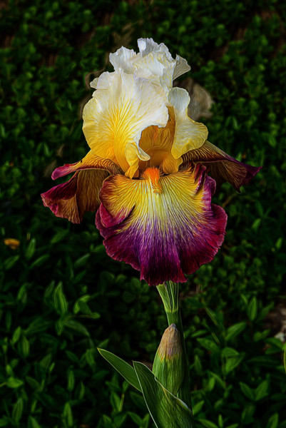 OUR IRISES-2016-0568-Edit.jpg