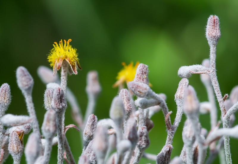 Goldencrest (Lophiola aurea)